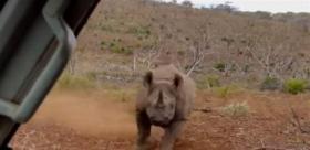 بالفيديو.. هجوم عنيف من وحيد القرن على سيارة!