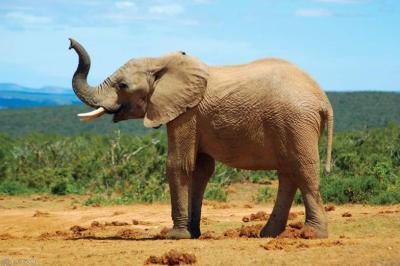 رد فعل فيل بعدما عضه تمساح في خرطومه! (فيديو)