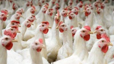 توزيع دجاج بياض على العائلات المستورة في ريف دمشق