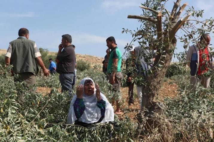 مستوطنون يقطعون 80 شجرة زيتون شمال رام الله