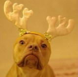the-pit-bull-reindeer