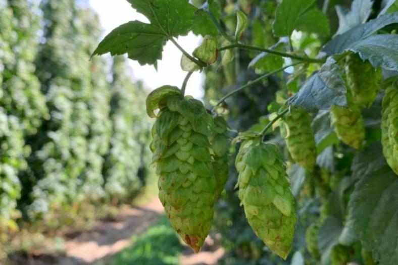 Far Yeast Brewing「Fresh Hop Wild Saison」