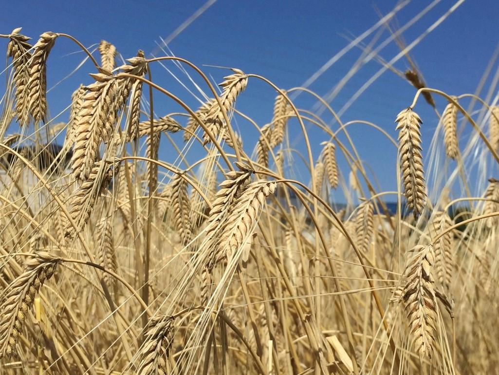 5月 麦秋の頃、収穫直前のミカモゴールデンの様子