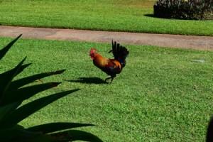AlwaysReiding_Kauai Rooster