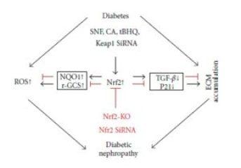 Nrf2 protection - diabetic nephropathy