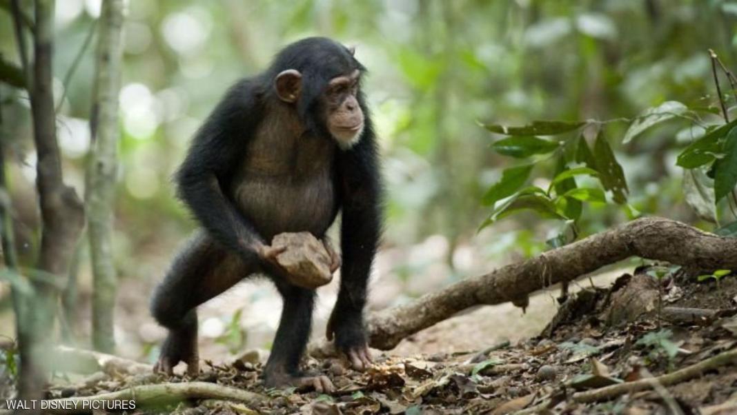 الشمبانزي تشاشا وخطة الهروب الكبير المثيرة