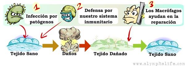 Los Macrófagos ayudan en la reparación y las reformas de los tejidos cuando se dañan.