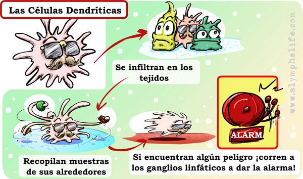 Cómo funcionan las células dendríticas, las espías del organismo.