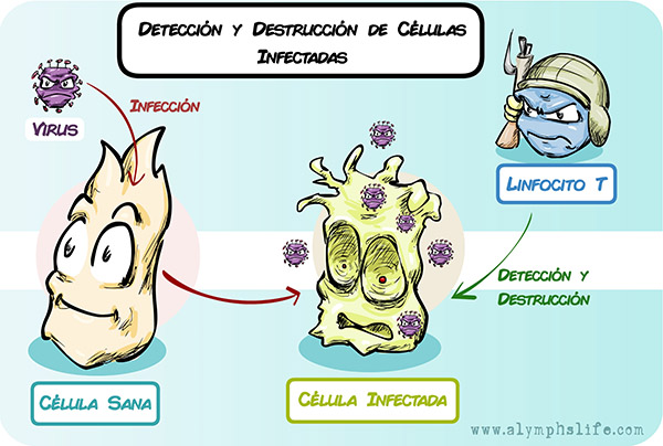 Infección viral y eliminación por linfocitos
