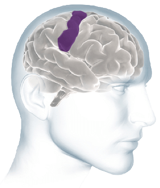 Cortex Regions
