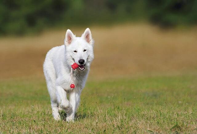 pastor-suizo-nueva-dog-354526_640