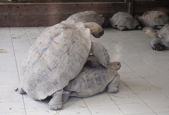 reproduction tortue terrestre