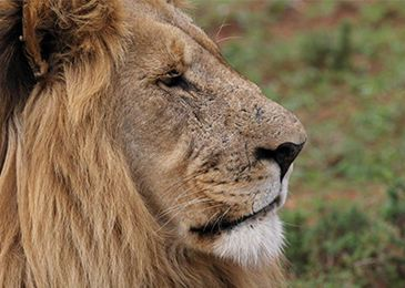 Eastern Cape Game Reserve Specials Founders Lodge Lion