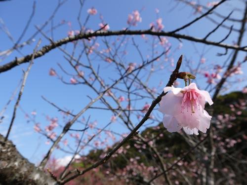 高知山のヒカンザクラ