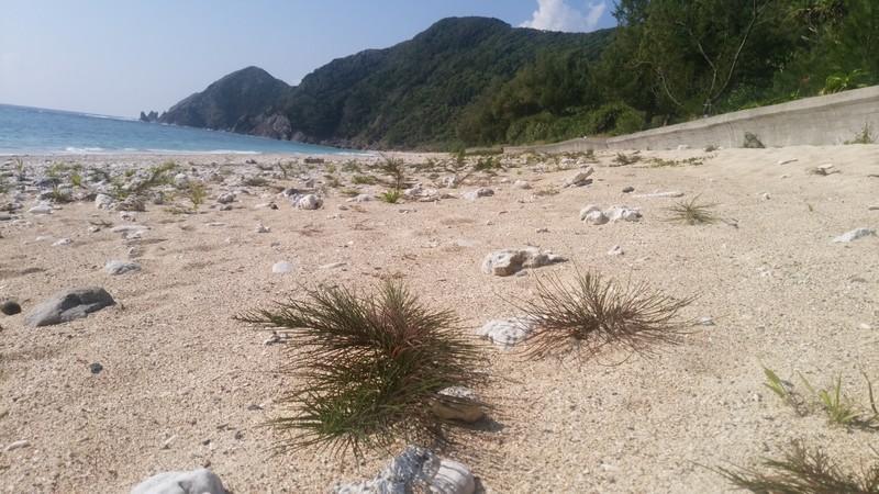 砂浜にモクマオウ
