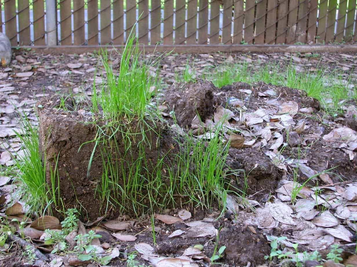 Green grass growing out of soil mound, outside.