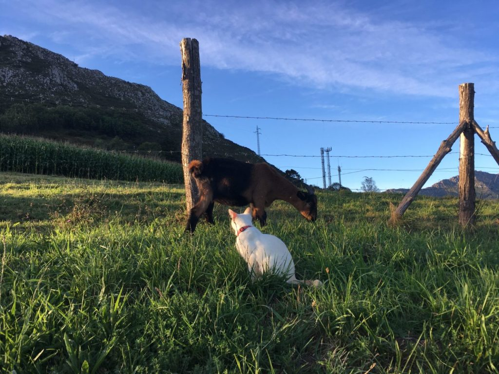 Goat and cat on a grassy hill in Asturias Spain where Amanda Walkins was housesitting