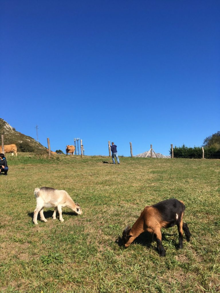 Goats eating on a grassy hill in Spain