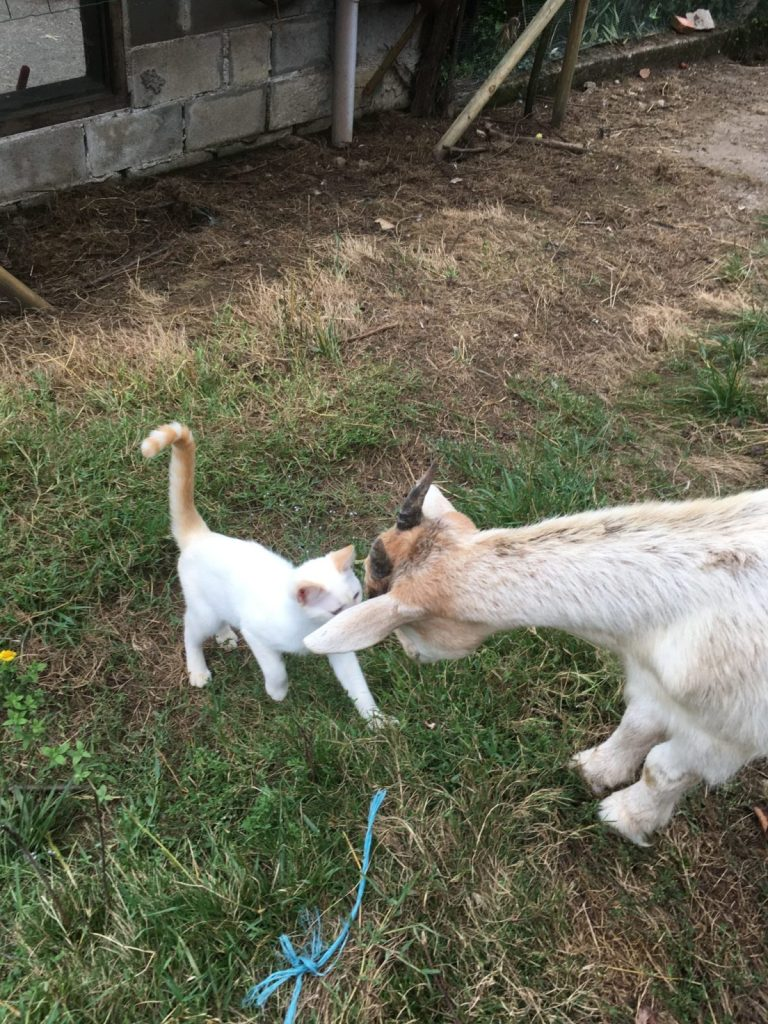 Kitten and goat headbutt housesitting lifestyle