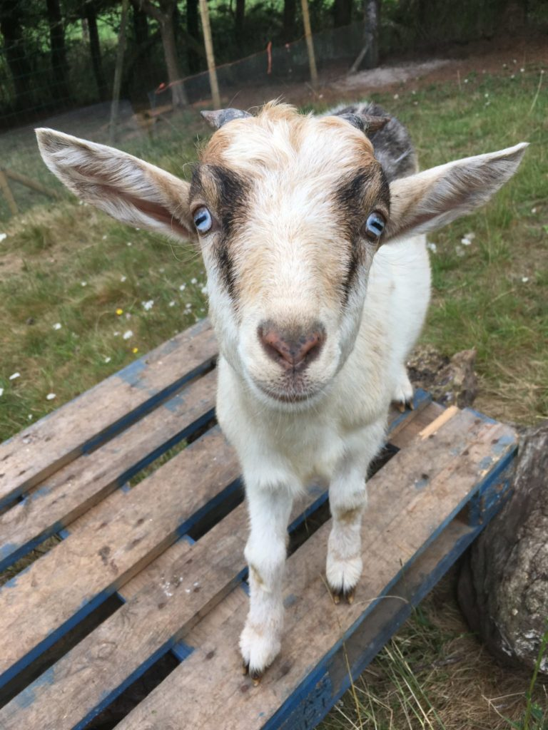 Pan the goat with beautiful blue eyes