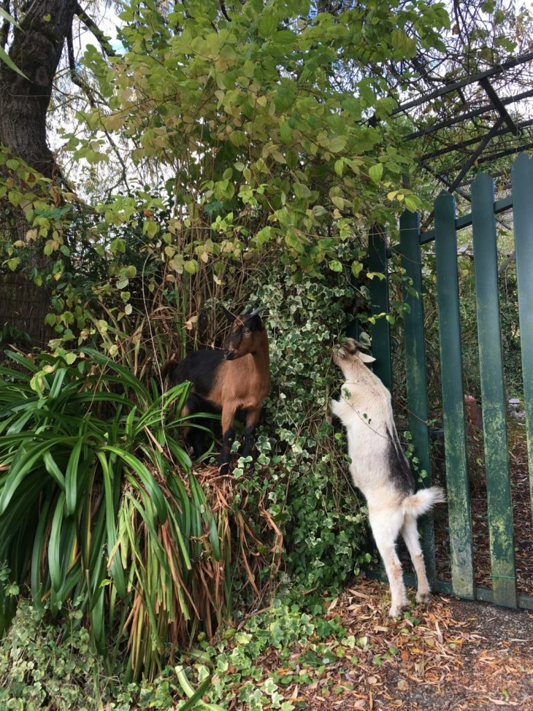 two goats eating leaves in Spain housesitting and petsitting
