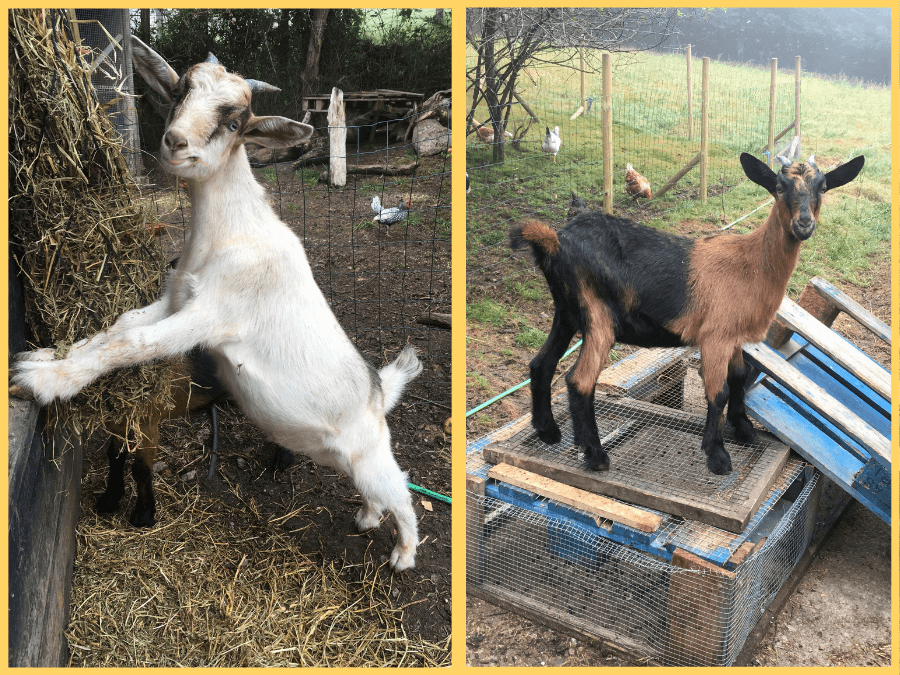 Two photos in a single image with a white goat and a brown goat from housesitter Amanda Walkins