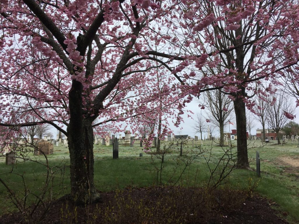 Eastern Cemetery in Portland ME looking eerie with pink flowering trees but a low fog
