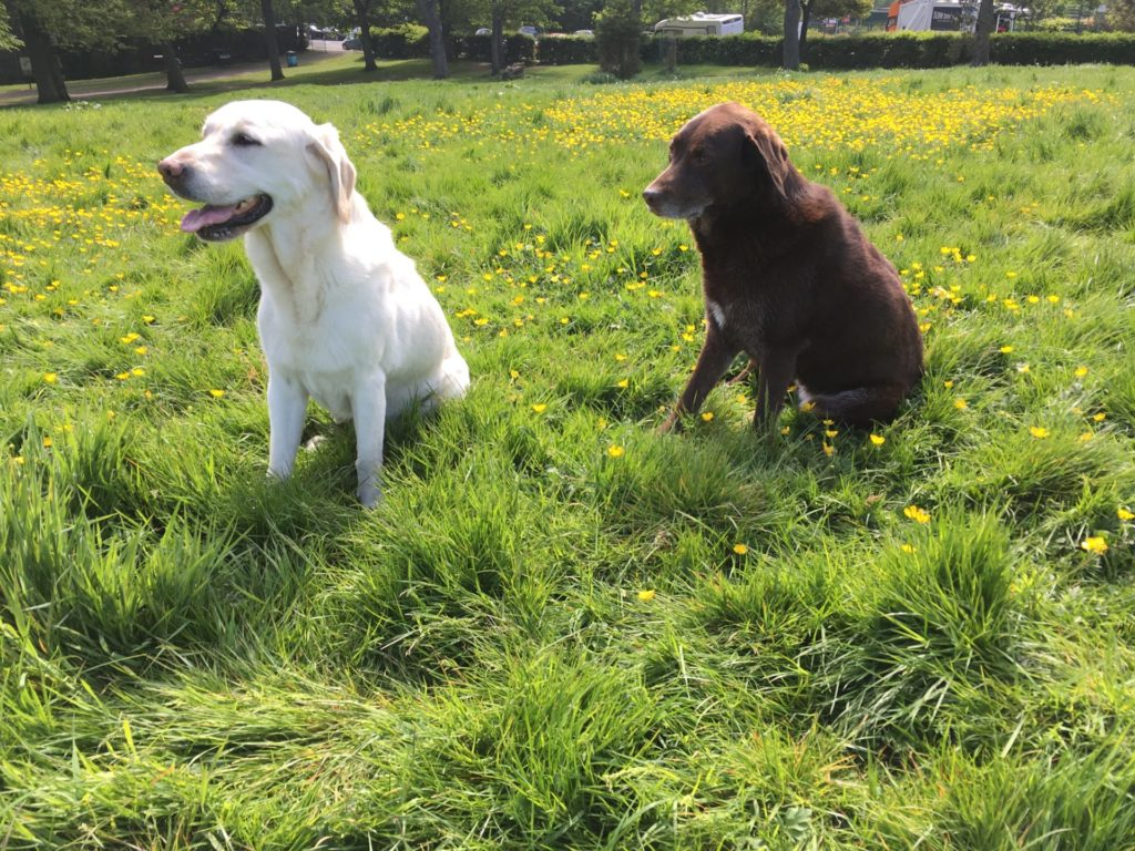 2 labradors on a grassy hill in Edinburgh with house sitter Amanda Walkins