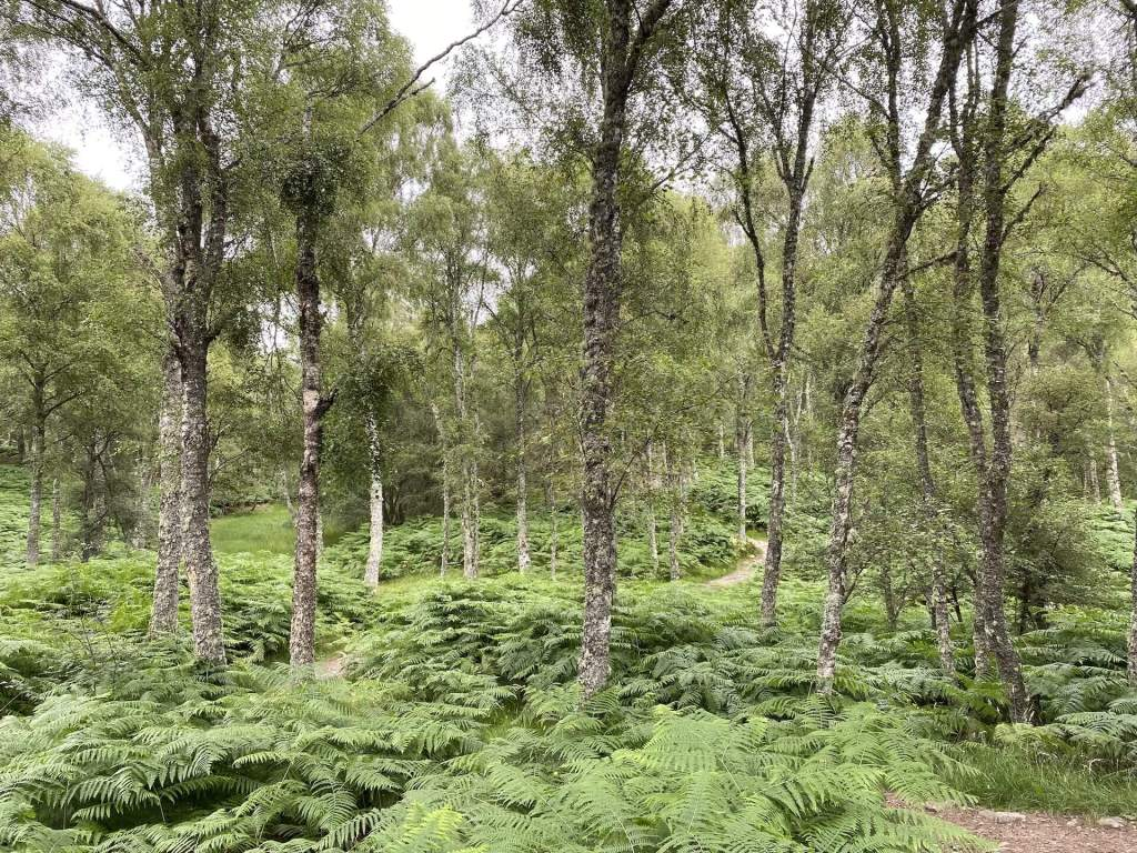 View in the Cairngorms National Park of Scotland with ferns covering the ground and endless old trees filling the frame