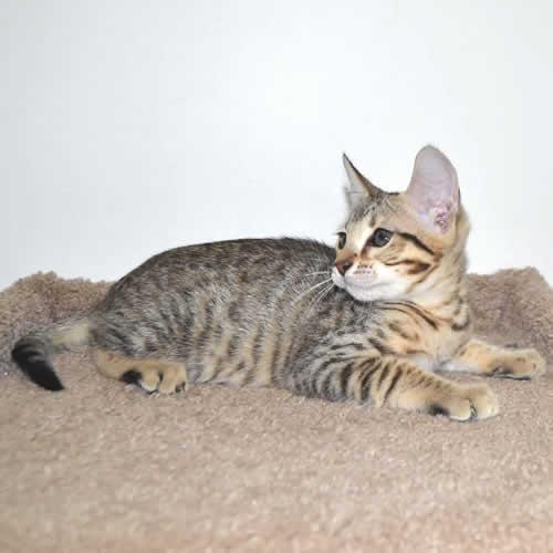 F6 Savannah Cat Full Grown