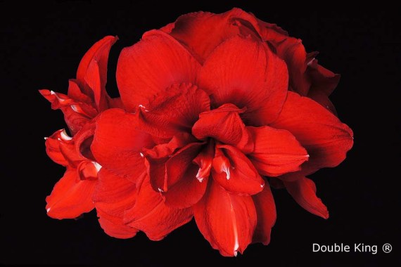 Amaryllis Double King close