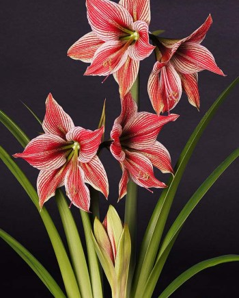 Amaryllis Exotic Star