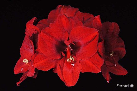 Amaryllis Ferrari close