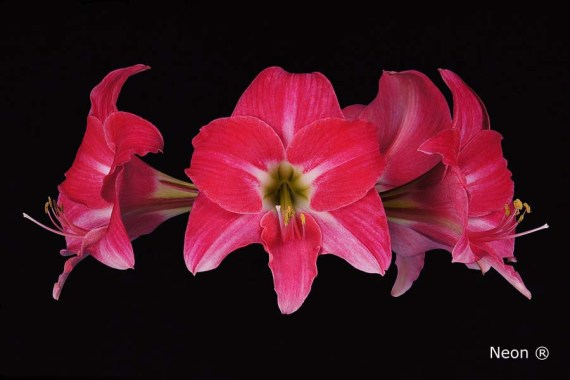 Amaryllis Neon close