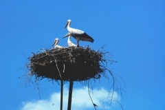 Storks and their young stand on a thick mattress of twigs built on any high point in Eastern Hungary