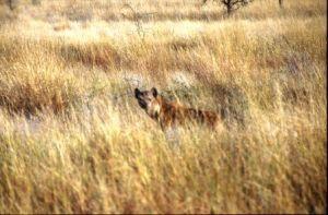 Spotted hyena, Awash National Park, Ethiopia