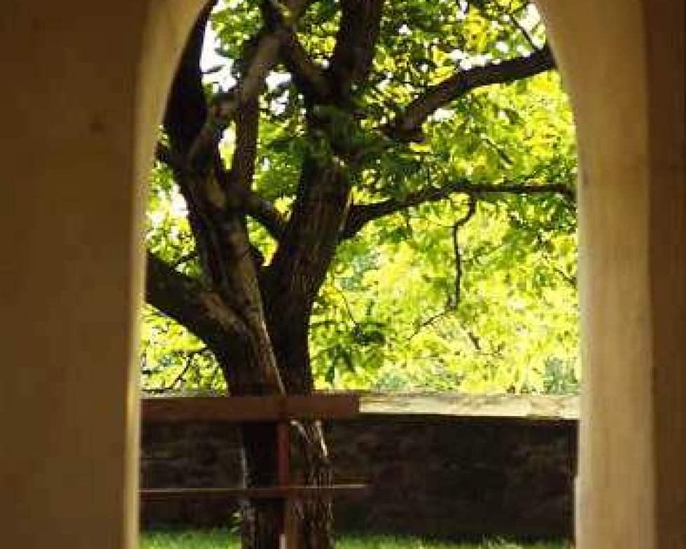 Walnut tree in church yard