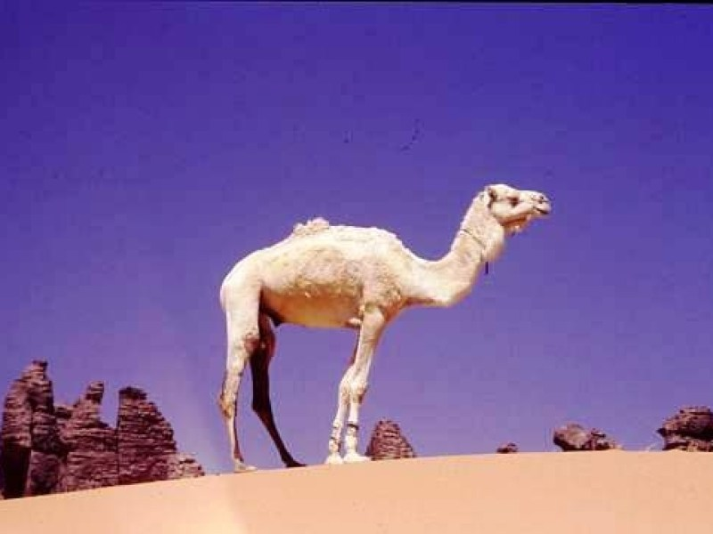 A young white camel stands on a sandy rise among dark rocks in the central sahara