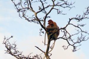 Kahau nosatý, nosatá opice, Borneo