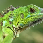 Tips Memelihara Iguana: Mengenal 7 Jenis Iguana