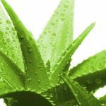 Tips Herbal: 5 Efek Samping Lidah Buaya bagi Kesehatan
