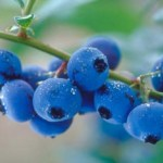 7 Manfaat Kesehatan Blueberry, dari Anti Aging hingga Kanker