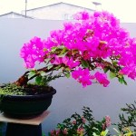 7 Tips Merawat Bonsai Bugenvil
