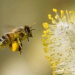 22 Fakta tentang Lebah Madu yang Perlu Anda Ketahui