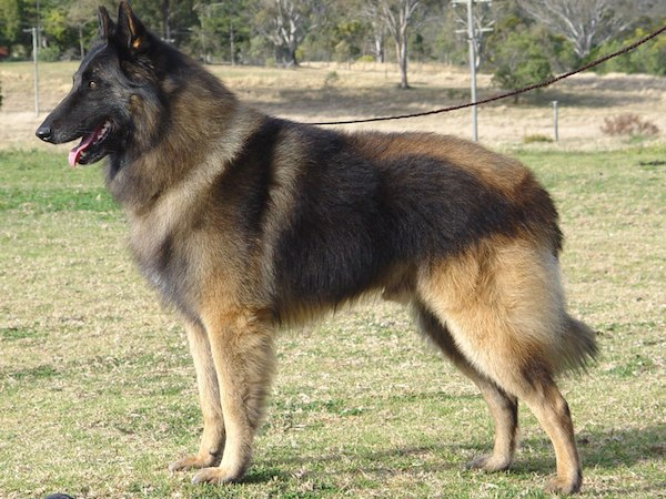 anjing belgian shepherd