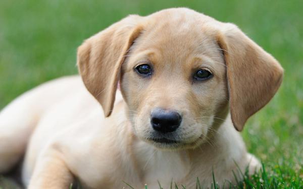 penyebab papilloma pada anjing