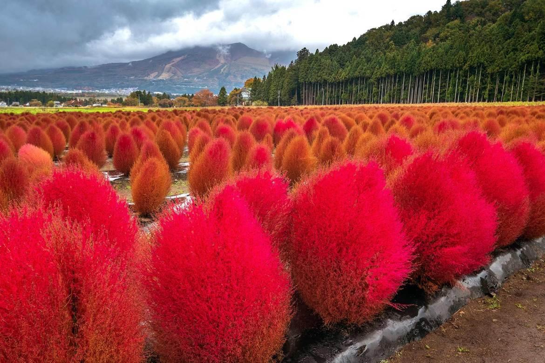 ดอกโคเคีย (Kochia) Inawashiro Herb Garden