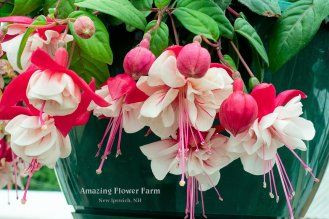 Fuschia hanging basket