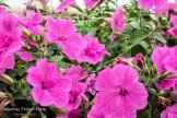 Petunia -Double Wave Pink