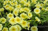 Petunia -Easy Wave Yellow